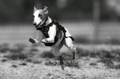 B&W 愛犬つばめの走り_1
