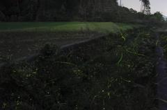 束荷川のホタル