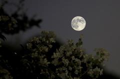 中秋の名月と百日紅