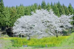 私たちだけの桜