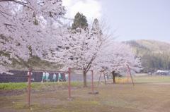 淡い青春桜