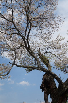 桜 老木に咲く