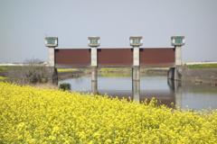 菜の花 水門のある風景 1