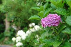 庭に咲く紫陽花