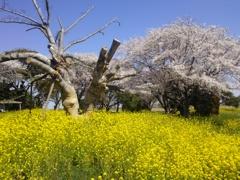 こぶしの木と菜の花と桜