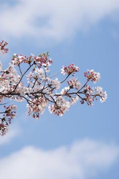 桜と雲と青い空 3