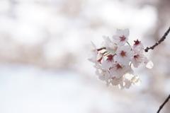 桜 君を忘れない