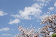 桜と雲と青い空 1