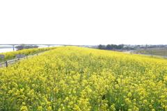 利根川サイクイリングロード 菜の花