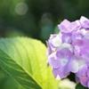 庭の紫陽花 2