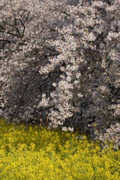 桜 菜の花 4