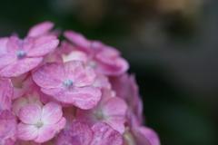 紫陽花 最後の輝き 2