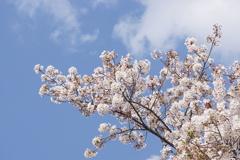 桜と雲と青い空 4