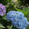 紫陽花 2色