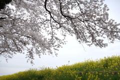 桜と菜の花 利根川サイクリングロードにて