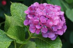 濡れた紫陽花