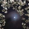 今宵も夜桜と月 その2