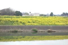 水面に映る菜の花