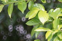 新緑 柿の葉