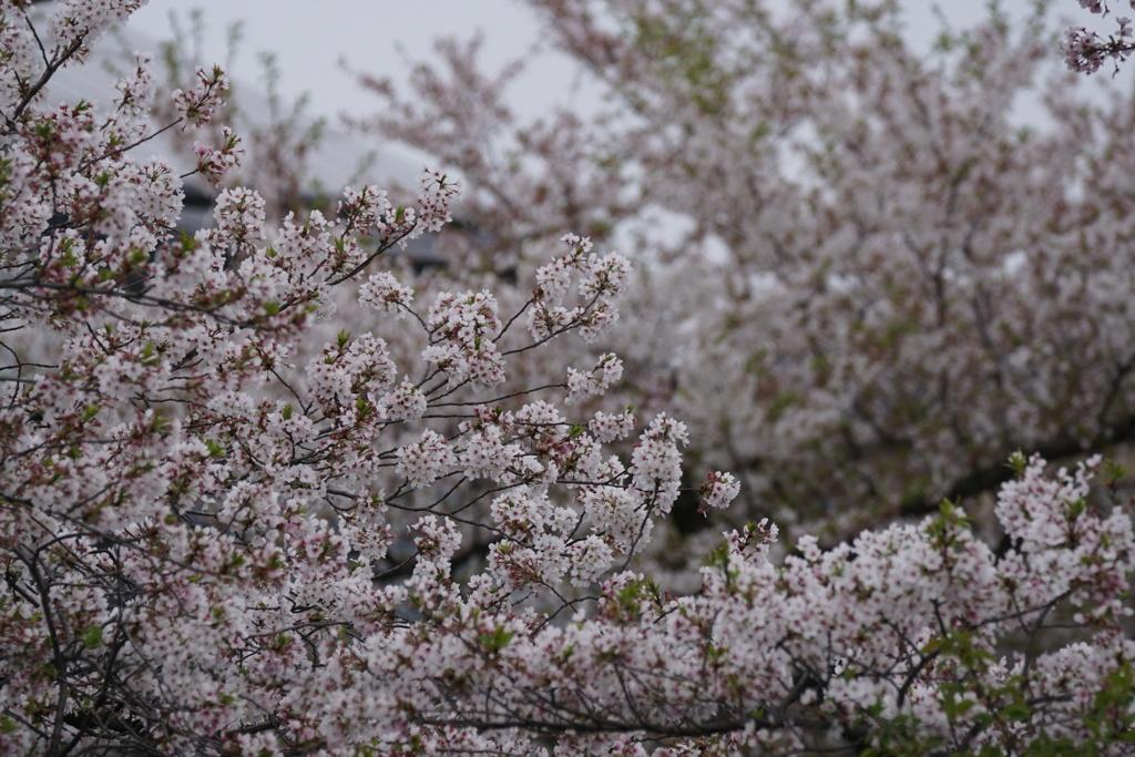 桜 最後の舞