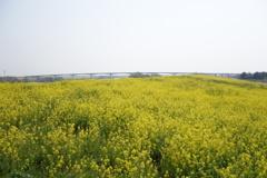 菜の花と橋