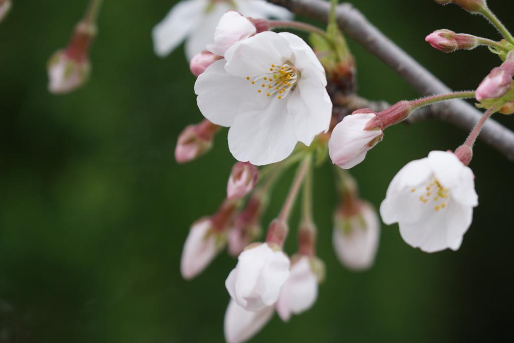 近所の桜 2