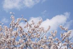 桜と雲と青い空 2