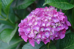 咲き始めた紫陽花 2