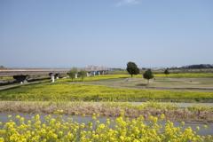 菜の花 刀水橋付近 利根川CRにて
