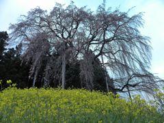 合戦場のしだれ桜(2011.4.18)