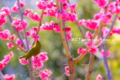 Plum-Blossom & White-Eye Ⅱ