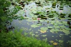 浜寺公園のハス