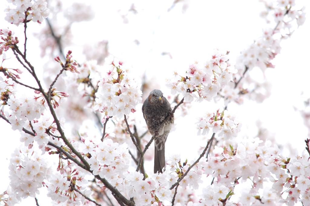桜&ヒヨドリ