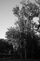 Die weißen Bäume