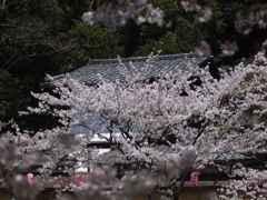 桜祭りの家