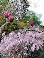 カラスモクレンの春