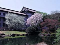 上野・国立博物館の桜③