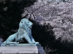 上野・国立博物館の桜①
