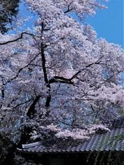 上野・国立博物館の桜②