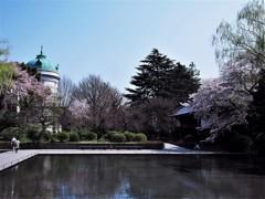 上野・国立博物館の桜④