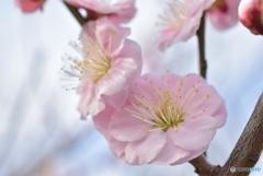 にほひをこせよ梅の花
