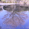 桜リフレクション