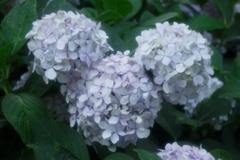 ミッキー紫陽花