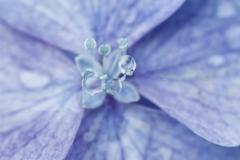 紫陽花 雫