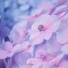 紫陽花とてんとう虫