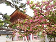 葛井寺の八重桜