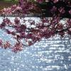 三浦海岸の春 河津桜と菜の花