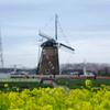 菜の花畑とチューリップに囲まれた風車