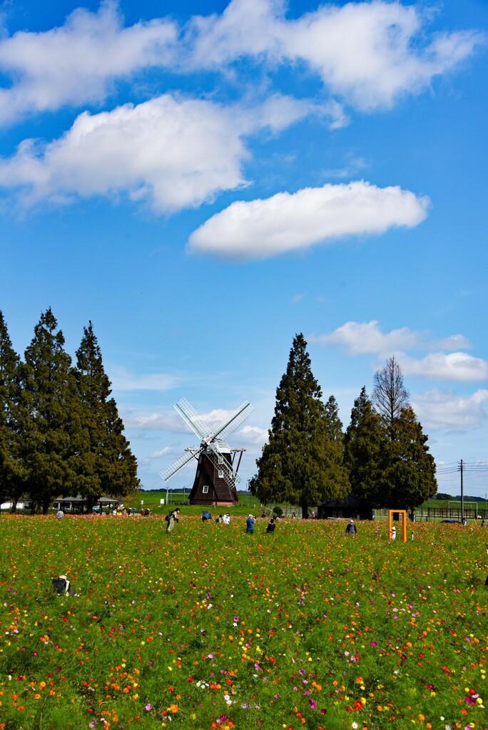 コスモスの咲く公園②