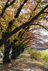 並木の紅葉①